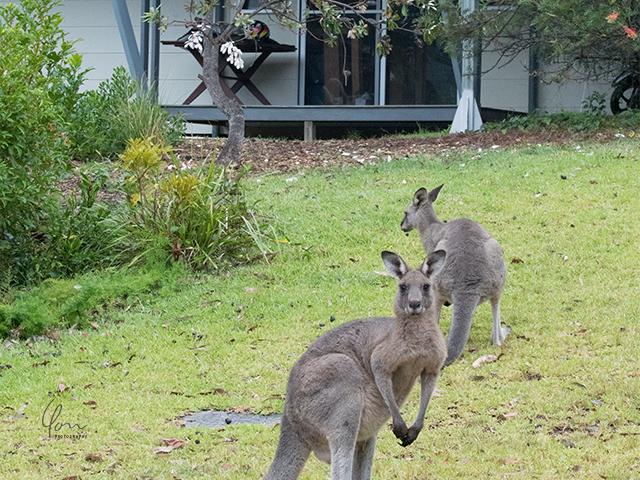 庭先 カンガルー kangaroo frontyard