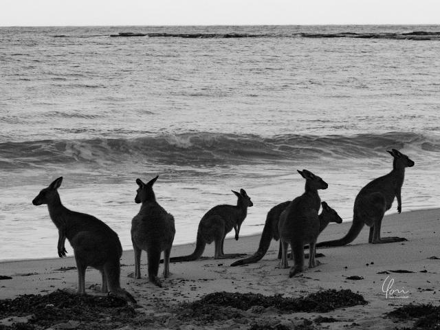 カンガルー シルエット ビーチ Kangaroo silhouette Depot beach