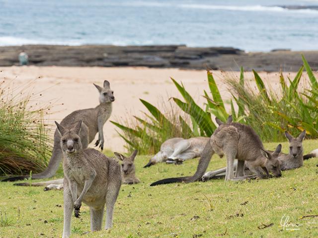 オーストラリア カンガルー ペブリービーチ Kangaroos Pebbly beach