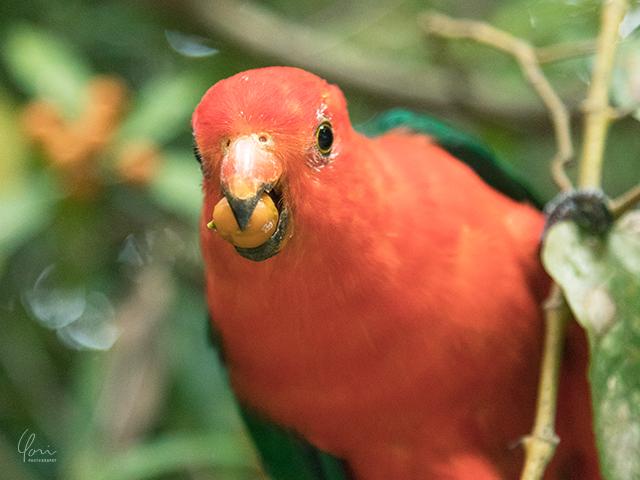 オーストラリア キングパロット Australian King parrot