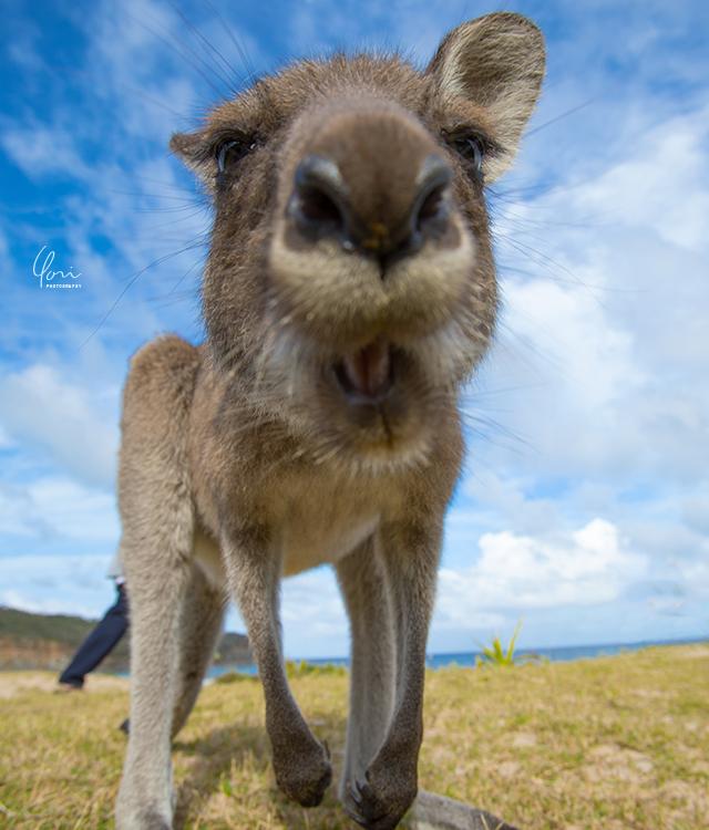 カンガルー クローズアップ kangaroo close up