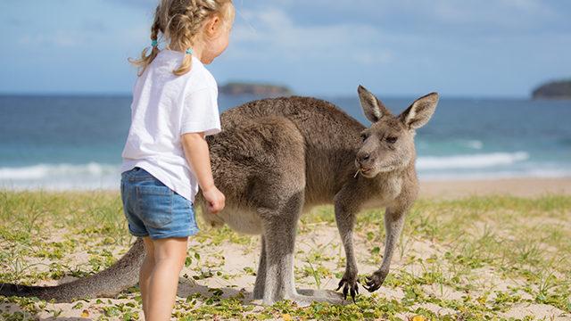 野生カンガルーと遊べるビーチ Kangaroo on the beach
