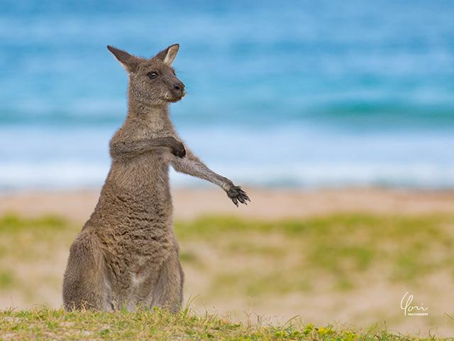 カンガルー ペブリー ビーチ kangaroo Pebbly beach