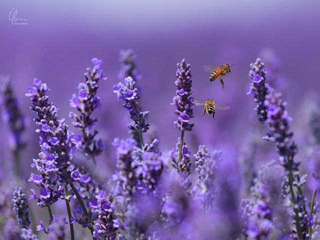 ラベンダー畑のミツバチ Lavender farm bees