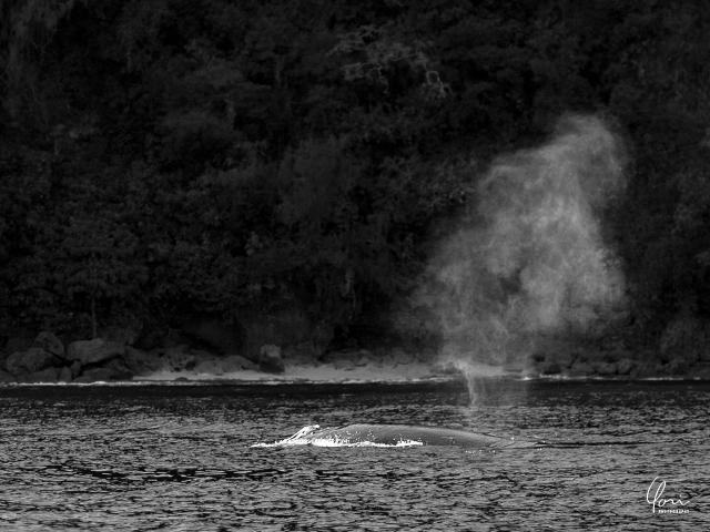 ザトウクジラ ブロー トンガ