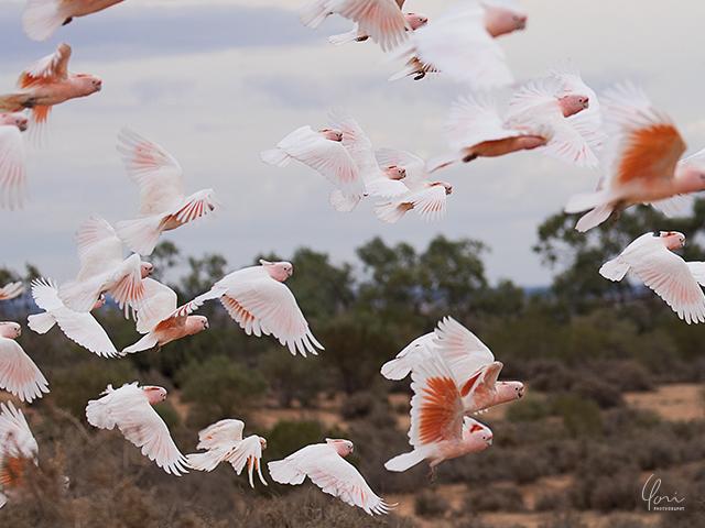 キンチェガ国立公園 オウム Kinchega national park parrots
