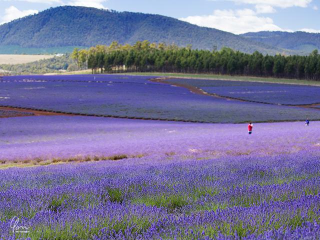 タスマニア ラベンダー畑 Tasmania Lavender carpet
