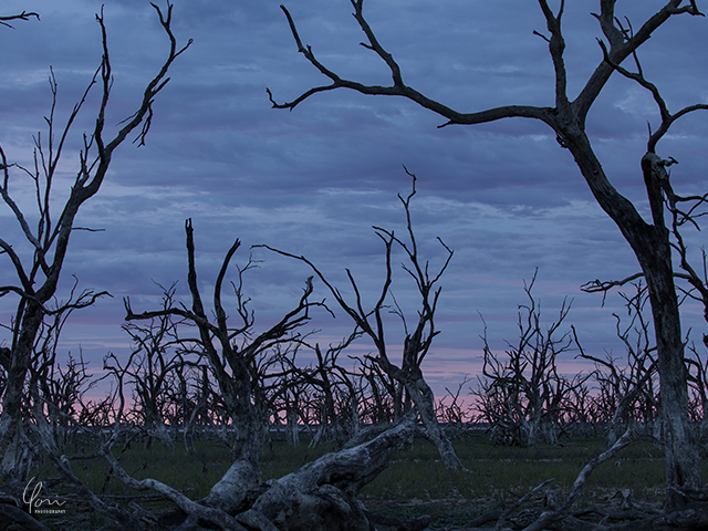 メニンディー 枯れた木 ガムツリー Menindee dead trees