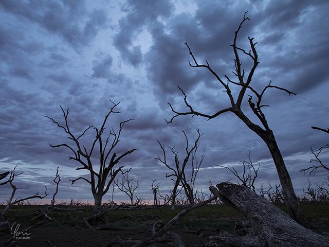 枯れ木 ガムツリー Menindee dead trees2