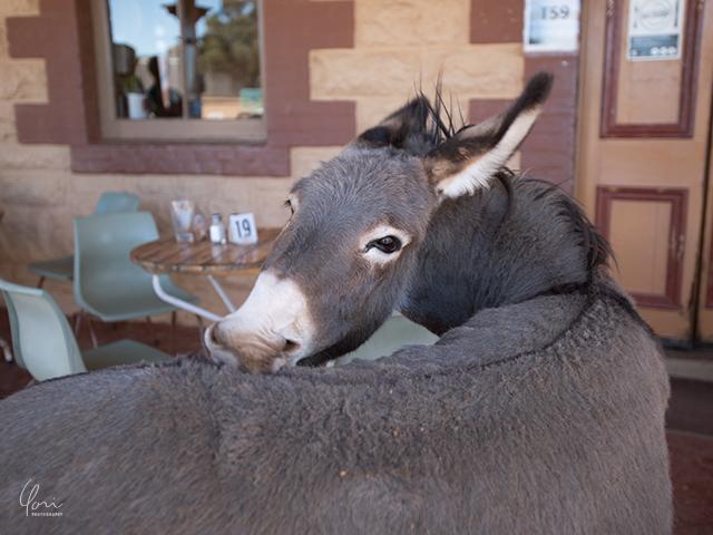 シルバートンホテル ロバ Silverton hotel donkey