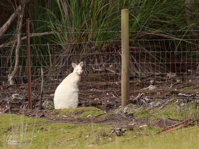 ブルーニー島 白いワラビー Tasmania albino wallaby