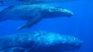 ザトウクジラ 親子 Humpback whale