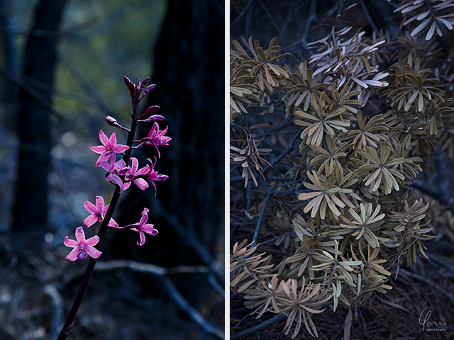 フレシネ国立公園 野草 bush flowers Freycinet National Park