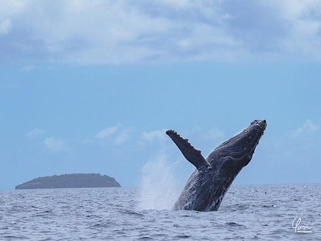 ブリーチング ザトウクジラ humpback whale breaching