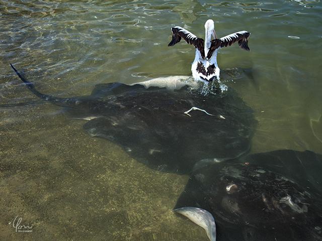 ペリカン エイ キアマ Kiama Pelican Stingray