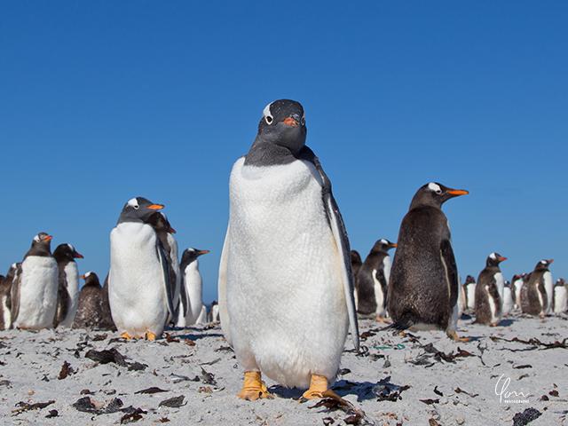 ジェンツーペンギン フォークランド諸島