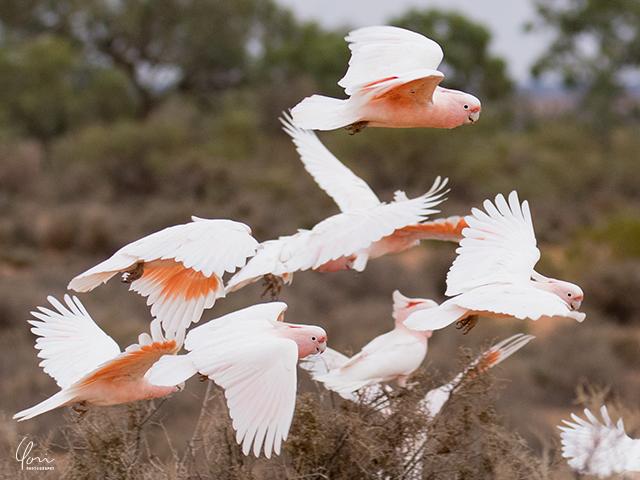 はばたくコカトゥー flying cockatoo