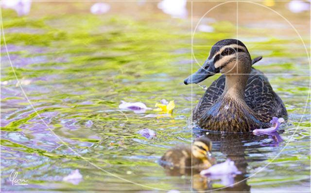 フィボナッチ 鴨 写真 構図 基本 テクニック 上達