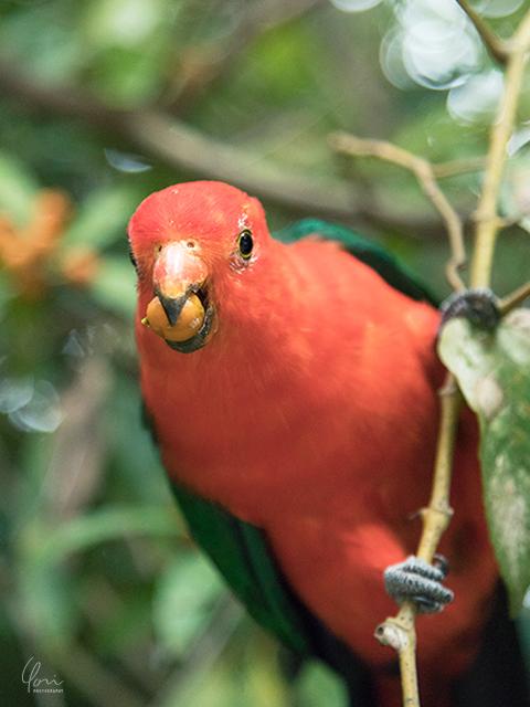 キングパロット King parrot