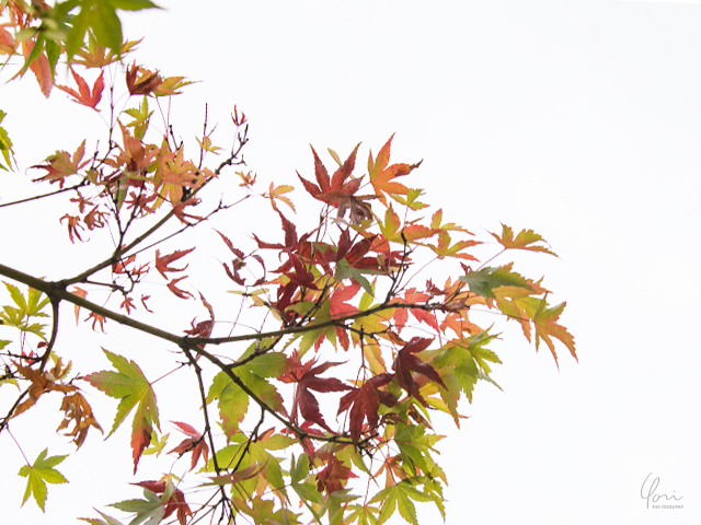 もみじ Japanese maple