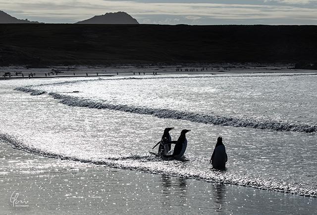 銀河を渡るペンギン フォークランド諸島 Falkland Island