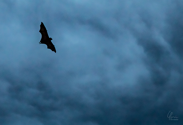 コウモリ 暗雲 fruitbat flyingfox storm