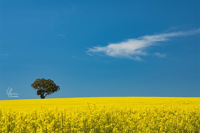 カウラ菜の花畑 Cowra canora field