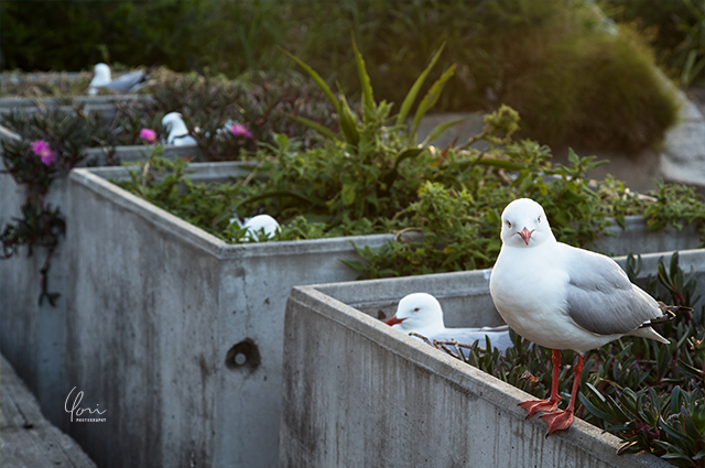 カモメ抱卵 コカトゥーアイランド Cockatoo Island