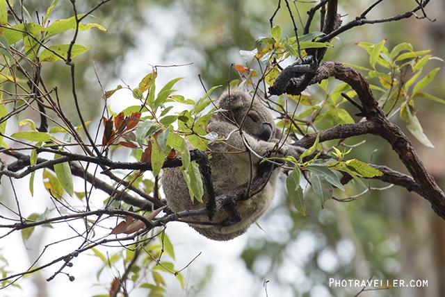 ポートマッコーリーコアラ病院 木の上で眠るコアラ