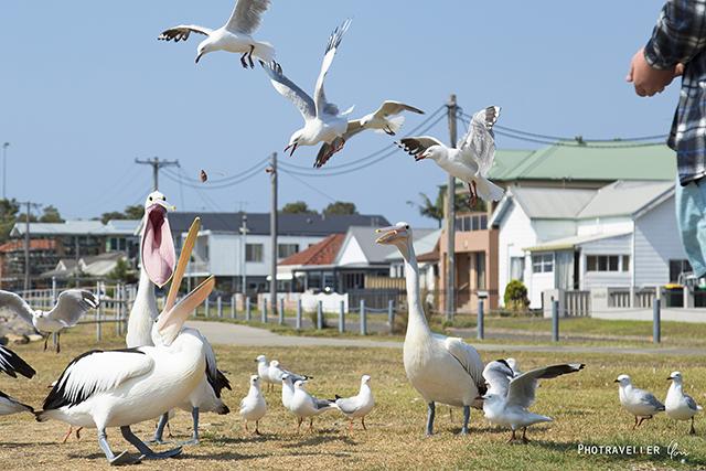 ペリカン カモメ 餌争奪戦 feed battle pelican and seagull