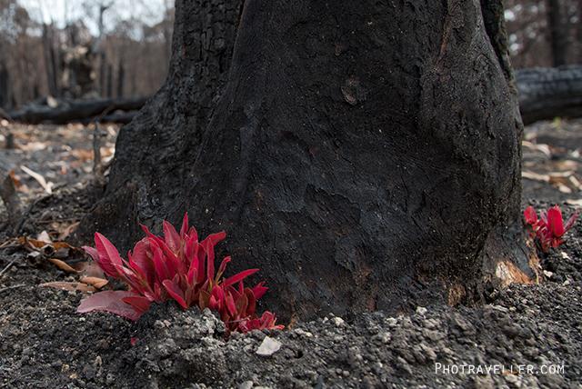 オーストラリア山火事 芽吹く葉っぱ ビルピン