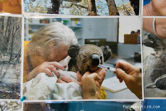 ポートマッコーリー コアラ病院 展示写真