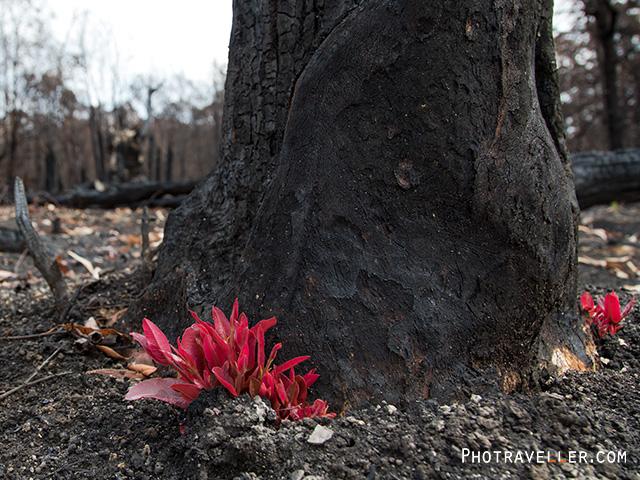 オーストラリア森林火災 焼け跡 新芽