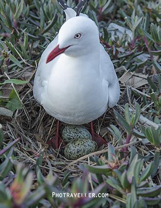 シドニー 世界遺産 コカトゥー島 かもめ 抱卵