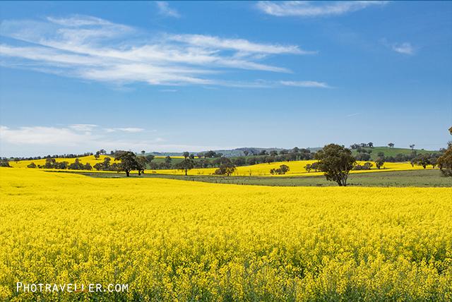 オーストラリア カウラ 菜の花畑
