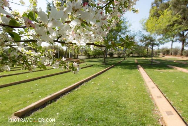 カウラ 日本人墓地と桜
