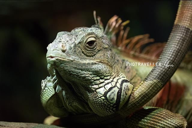 グリーンイグアナ オーストラリアン レピタイルパーク 爬虫類公園