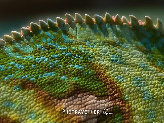 カメレオン オーストラリアン レピタイルパーク 爬虫類公園