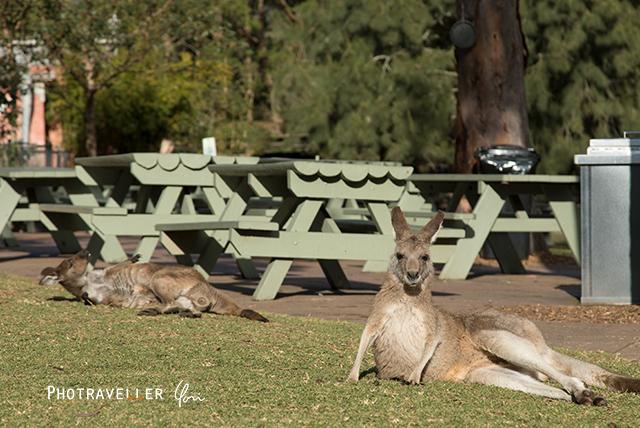 カンガルー オーストラリアン レピタイルパーク 爬虫類公園