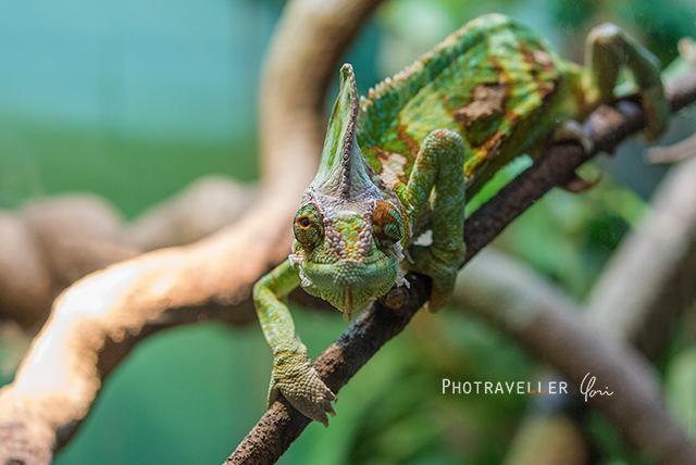 オーストラリアン レピタイルパーク 爬虫類公園 カメレオン
