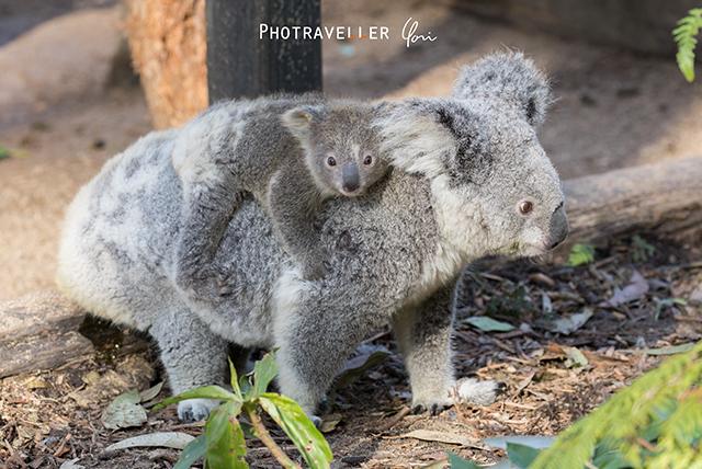 コアラの親子 オーストラリアン レピタイルパーク 爬虫類公園