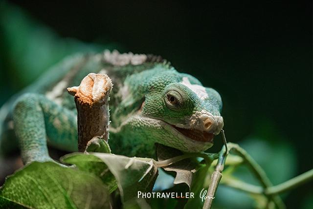 ブルーイグアナ オーストラリアン レピタイルパーク 爬虫類公園