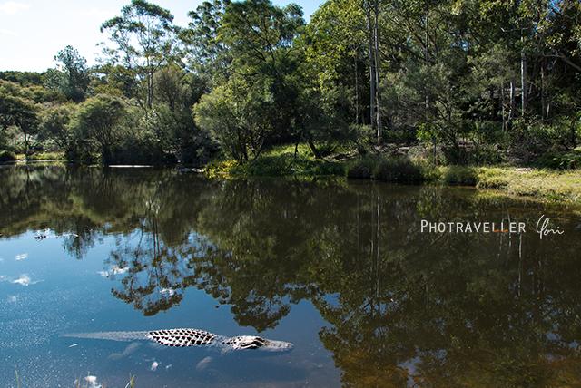 アリゲーター オーストラリアン レピタイルパーク 爬虫類公園