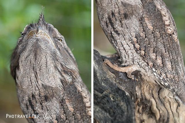 オーストラリアン レピタイルパーク 爬虫類公園 ガマグチヨタカ