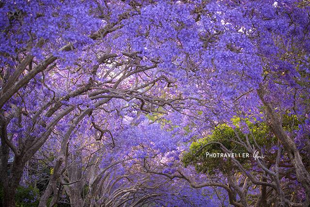 キリビリ 紫トンネル 世界三大花木 ジャカランダ オーストラリア