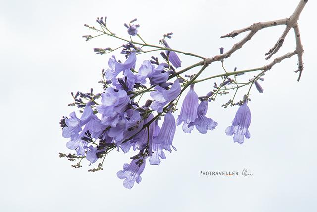 紫の花 世界三大花木 ジャカランダ オーストラリア