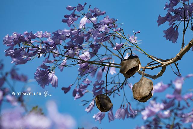 ジャカランダの種 jacaranda seed pod