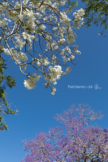 白と紫のジャカランダ