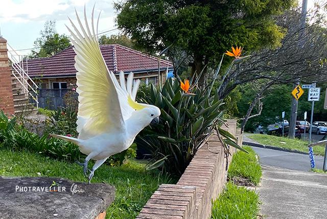 キバタン コカトゥー オーストラリアの野鳥