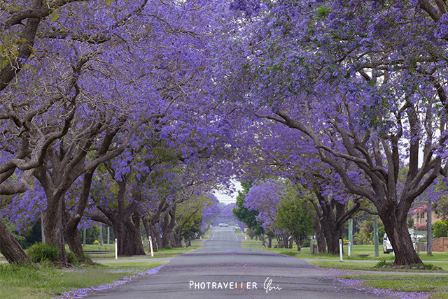 Grafton North street Jacaranda
